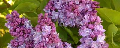 SYRINGA vulgaris 'KATHERINE HAVEMEYER' 01