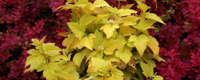 PHYSOCARPUS opulifolius ANGEL GOLD (R) 'Minange' cov 01