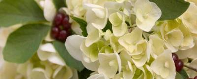 HYDRANGEA macrophylla ENDLESS SUMMER (R) 'Blushing Bride' cov 01