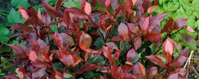 PHOTINIA x fraseri 'LITTLE RED ROBIN' 01