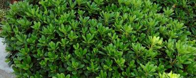 PITTOSPORUM tobira 'NANA' 01