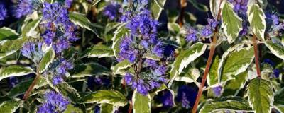 CARYOPTERIS x clandonensis 'White surprise' cov 01
