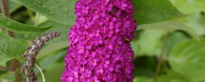 BUDDLEJA davidii 'ROYAL RED' 01