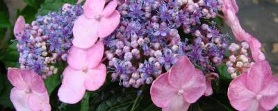 HYDRANGEA macrophylla ENDLESS SUMMER (R) TWIST-N-SHOUT 'Piihmi' cov (ROSE) 01