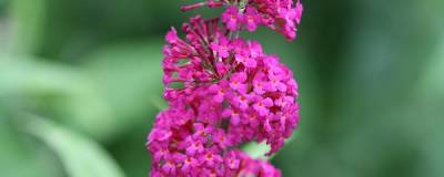 BUDDLEJA 'Miss Ruby' cov 01