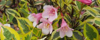 WEIGELA florida MAGICAL (R) RAINBOW 'Kolmagira' cov 01
