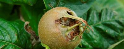 MESPILUS germanica 01