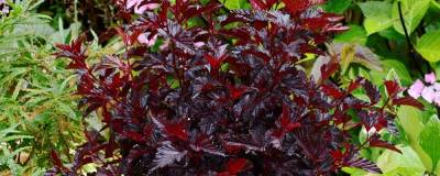PHYSOCARPUS opulifolius ALL BLACK (R) 'Minall2' cov 01