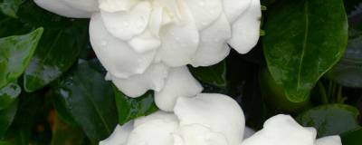 GARDENIA jasminoides FIRST EDITIONS (R) 'Double Mint' 01