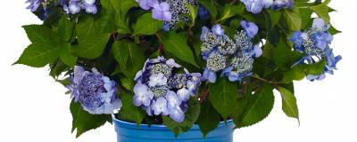 HYDRANGEA macrophylla ENDLESS SUMMER (R) TWIST-N-SHOUT 'Piihmi' cov (BLEU) 01