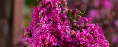 LAGERSTROEMIA FIRST EDITIONS (R) 'Plum Magic' 01