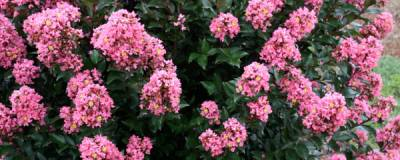 LAGERSTROEMIA FIRST EDITIONS (R) 'Coral Magic' 01
