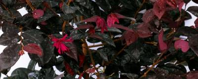LOROPETALUM chinense BLACK 'Pearl' cov 01