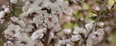 LEPTOSPERMUM scoparium 'SNOW FLURRY' 01