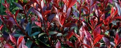 PHOTINIA x fraseri CARRE ROUGE 01