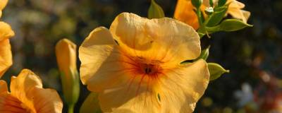 CAMPSIS x tagliabuana SUMMER JAZZ (R) SUNRISE GOLD 'Takarazuka Yellow' cov 01