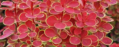 BERBERIS thunbergii 'Orange Sunrise' cov 01