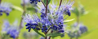 CARYOPTERIS x clandonensis 'HEAVENLY BLUE' 01