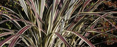 CORDYLINE banksii ELECTRIC FLASH (R) 'Sprilecflash' cov 01