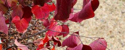 CERCIS canadensis RED FORCE (R) 'Minrouge3' cov 01