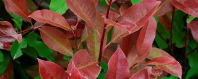 PHOTINIA x fraseri 'RED SELECT' 01