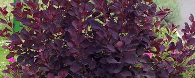 COTINUS coggygria 'ROYAL PURPLE' 01
