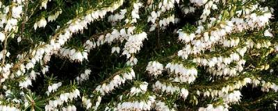 ERICA x darleyensis 'WHITE PERFECTION' 01