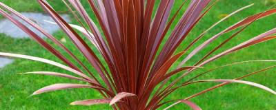 CORDYLINE australis 'RED STAR' 01