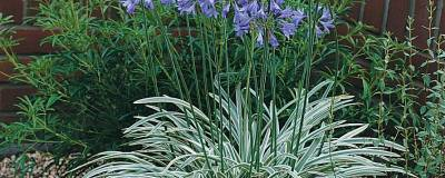 AGAPANTHUS SILVER MOON (R) 'Notfred' cov 01