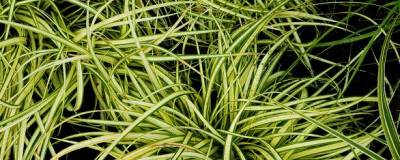 CAREX oshimensis 'EVERGOLD' 01