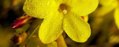 JASMINUM nudiflorum 01