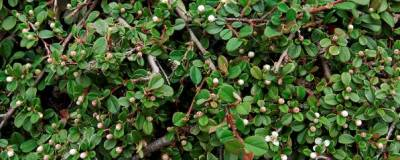 COTONEASTER 'FRIEDERS EVERGREEN' 01