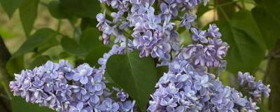 SYRINGA vulgaris 'CAPITAINE BALTET' 01