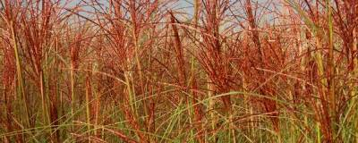 MISCANTHUS sinensis 'MORNING LIGHT' 01