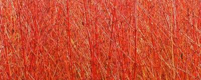 CORNUS sanguinea 'MID WINTER FIRE' 01