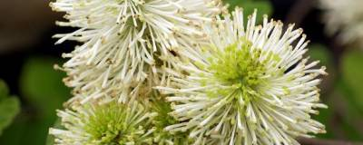 FOTHERGILLA major 01