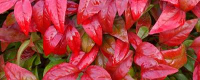 NANDINA domestica 'FIRE POWER' 01