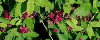 LONICERA tatarica 'HACK'S RED' 01