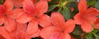 AZALEA japonica 'ORANGE BEAUTY' 01
