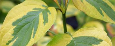 CORNUS alternifolia GOLDEN SHADOW (R) 'Wstackman' cov 01