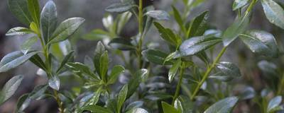 PITTOSPORUM heterophyllum 01