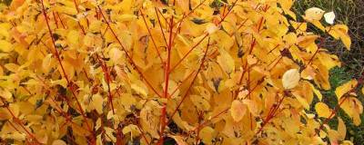 CORNUS sanguinea 'MAGIC FLAME' 01