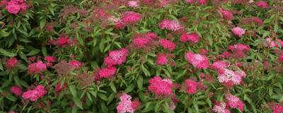 SPIRAEA japonica 'ANTHONY WATERER' VT 01