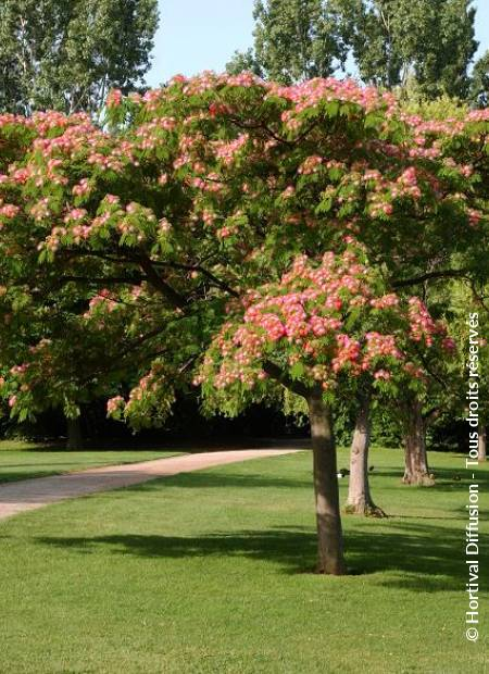 Albizia julibrissin 39 rouge selection 39 minier solution pro for Acacia de constantinople prix