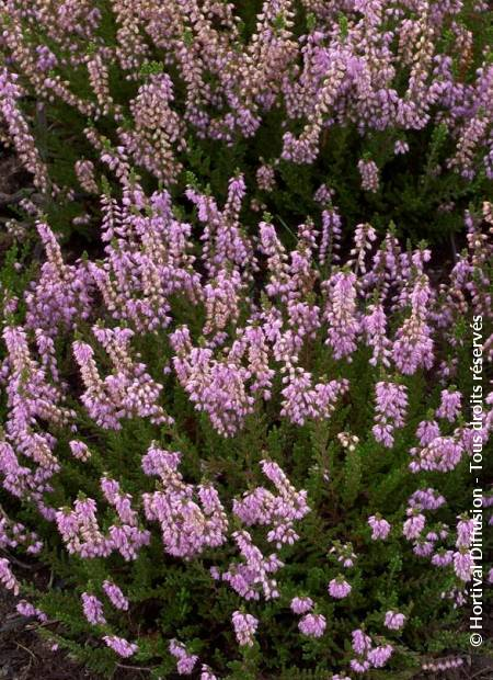Calluna Vulgaris Spring Torch Minier Solution Pro